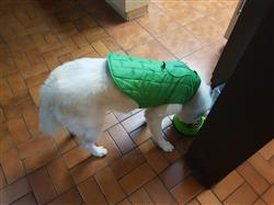 Lizeth verified customer review of Chamarra  Reversible Impermeable para Perro Verde / Gris