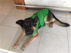 Bernardo P. verified customer review of Chamarra  Reversible Impermeable para Perro Verde / Gris