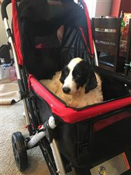 Daisy verified customer review of PET ROVER™ Premium Stroller for Small/Medium/Large Dogs, Cats and Pets (Red)