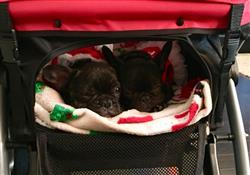 Scott L. verified customer review of PET ROVER™ Premium Stroller for Small/Medium/Large Dogs, Cats and Pets (Red)