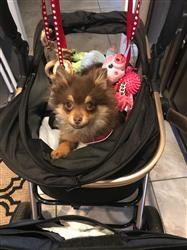 Amazon Verified Buyer verified customer review of PET ROVER PRIME™ Luxury 3-in-1 Stroller for Small/Medium Dogs, Cats and Pets (Ruby Red)