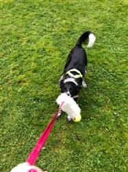 Harriet H. verified customer review of Sheepskin Bungee Chaser with Tennis Ball