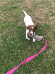 Sylvia S. verified customer review of Rabbit Skin Chaser Tug with Squeaker
