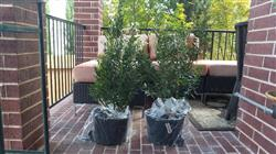 Sandy S. verified customer review of Wax Myrtle Tree