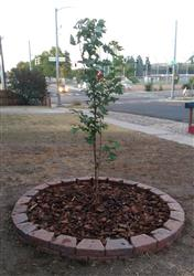 Mitchell R. verified customer review of Autumn Blaze Maple Tree