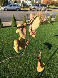 Colagreco verified customer review of Forest Pansy Redbud Tree