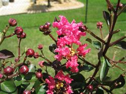 Gwen R. verified customer review of Pink Velour Crape Myrtle
