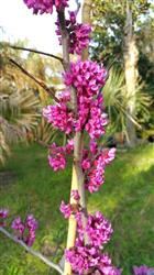JOHN D. verified customer review of Oklahoma Redbud Tree