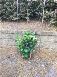 Dick A. verified customer review of White Mandevilla Vine