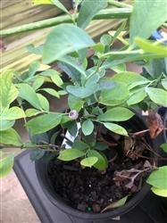 Curt N. verified customer review of Premier Rabbiteye Blueberry Bush