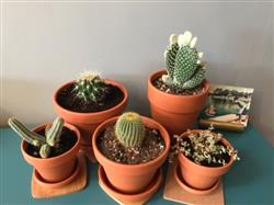 Anica M. verified customer review of Angel Wing Cactus - Bunny Ears Cactus