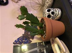 Kathleen H. verified customer review of Christmas Cactus Thanksgiving Cactus