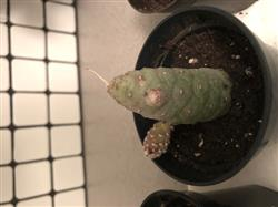 Shannon B. verified customer review of Pine Cone Cactus