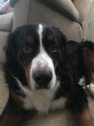 Melissa C. verified customer review of Bernese Mountain Dog Nose Butter