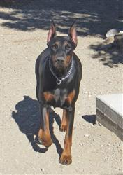 Dianne C. verified customer review of Doberman Pinscher Nose Butter