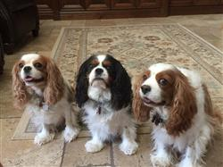 Anonymous verified customer review of Cavalier King Charles Spaniel Nose Butter