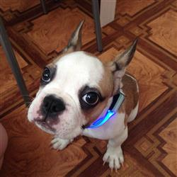 M Nunez verified customer review of LED Glowing Nylon Collar -  Night Safety Collars