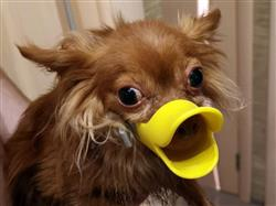 Aldo Merritt verified customer review of Cute Duck Mouth Design Silicone  Dog Muzzle (FIVE STARS)