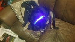 Thea Barber verified customer review of LED Glowing Nylon Collar -  Night Safety Collars