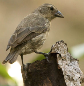 The mangrove finch, Camarhynchus heliobates, discovered in 1898-99 by Robert Evans Snodgrass, '01, and Edmund Heller, '01.