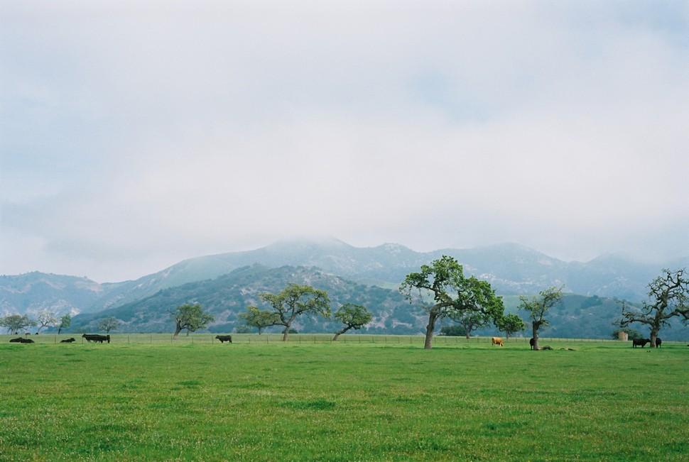 Cows at pasture in Santa Ynez valley, on Ektar film.