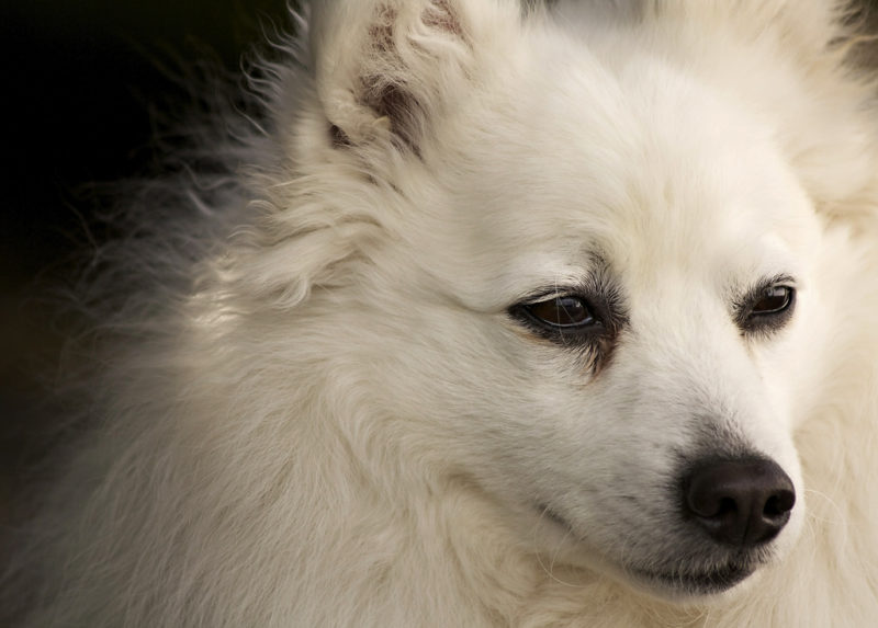 12 Japanese Dog Breeds That You Must Know Trip N Travel