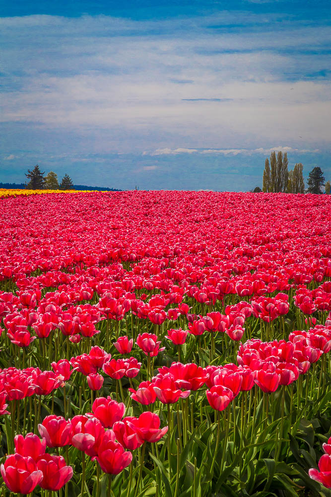 Tulips 2 - From the Skagit County Tulip Festival, 2012. by D Scott Smith