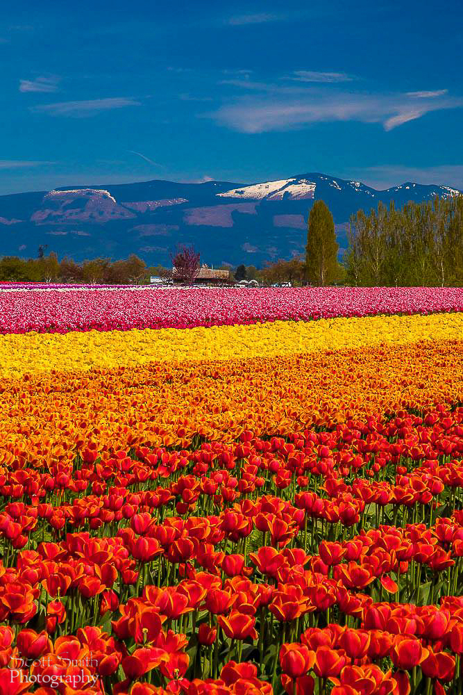 Tulips with a View - From the Skagit County Tulip Festival in Washington state. by D Scott Smith