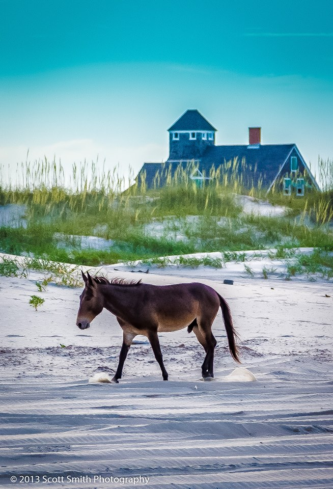 Wild Horses of Currituck -  by D Scott Smith