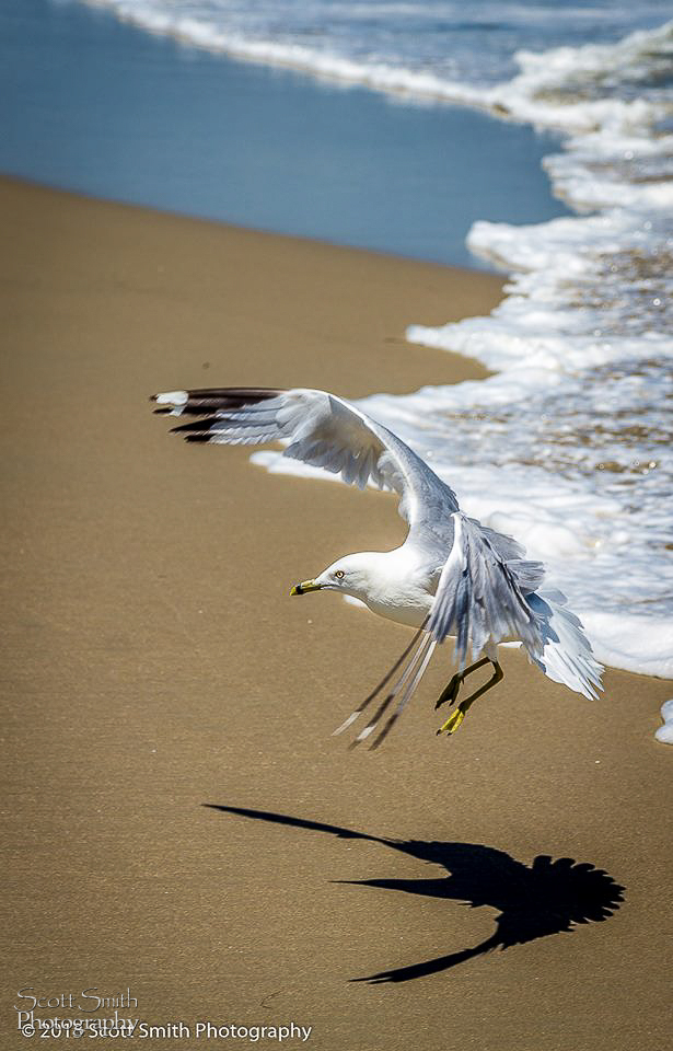 Landing - A gull approaching the sand, looking for a snack. by D Scott Smith
