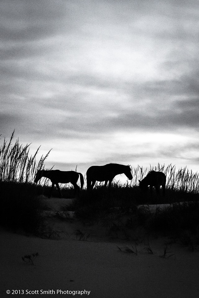 Wild Horses of Currituck No 2 -  by D Scott Smith