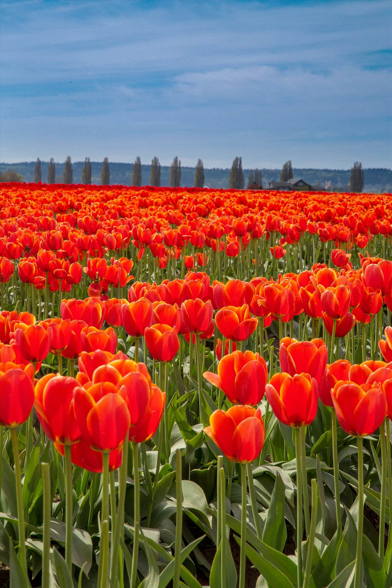 Standing Tall - From the 2012 Skagit County Tulip Festival. by D Scott Smith