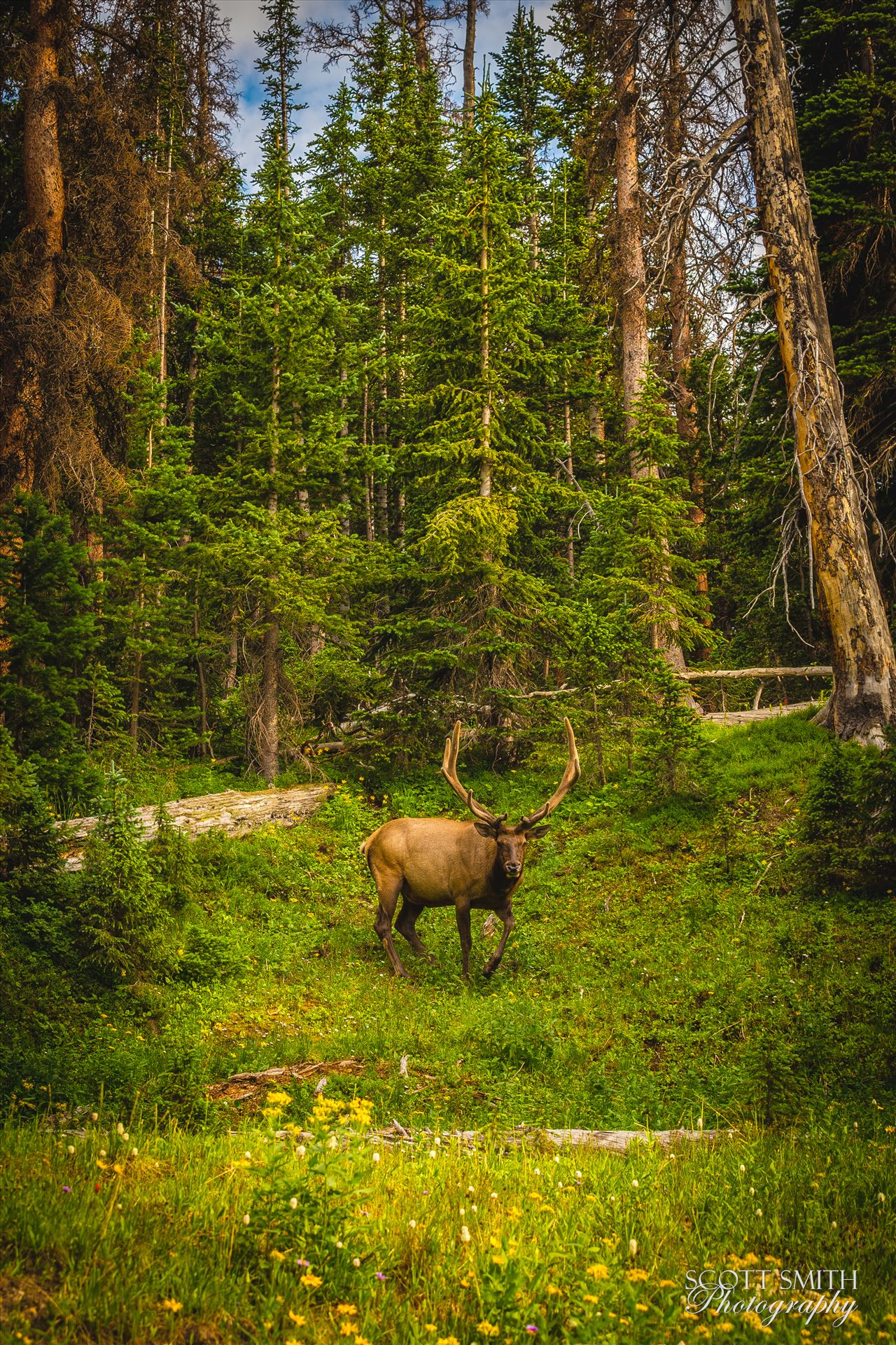 Elk in the Wild No 2 - A large buck enjoying a summer day in the Rocky Mountain National Park. by D Scott Smith