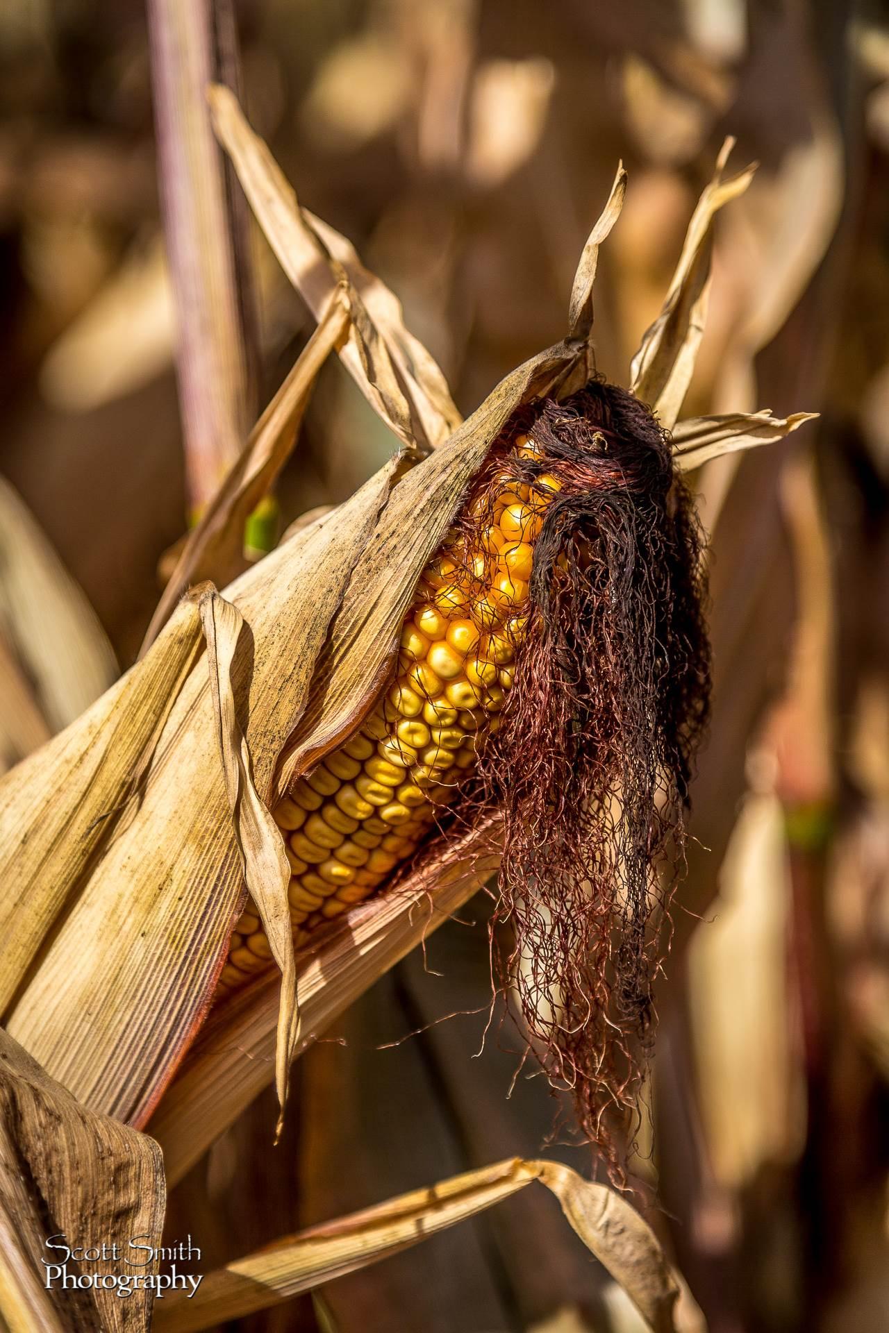 Corn 1 - Anderson Farms, Erie Colorado. by D Scott Smith