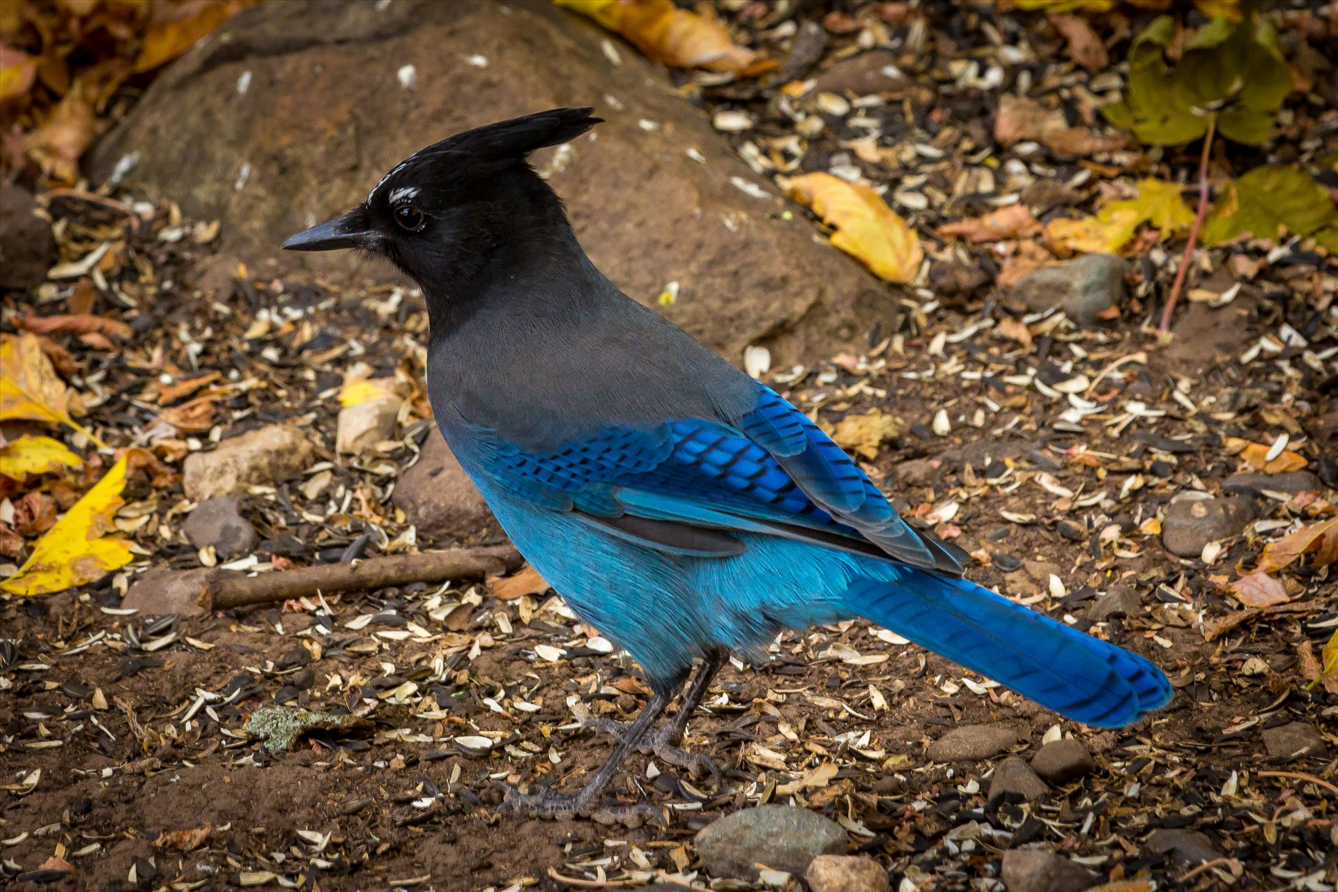 Steller's Jay - A Steller's Jay, spotted in Ouray, Colorado. by D Scott Smith