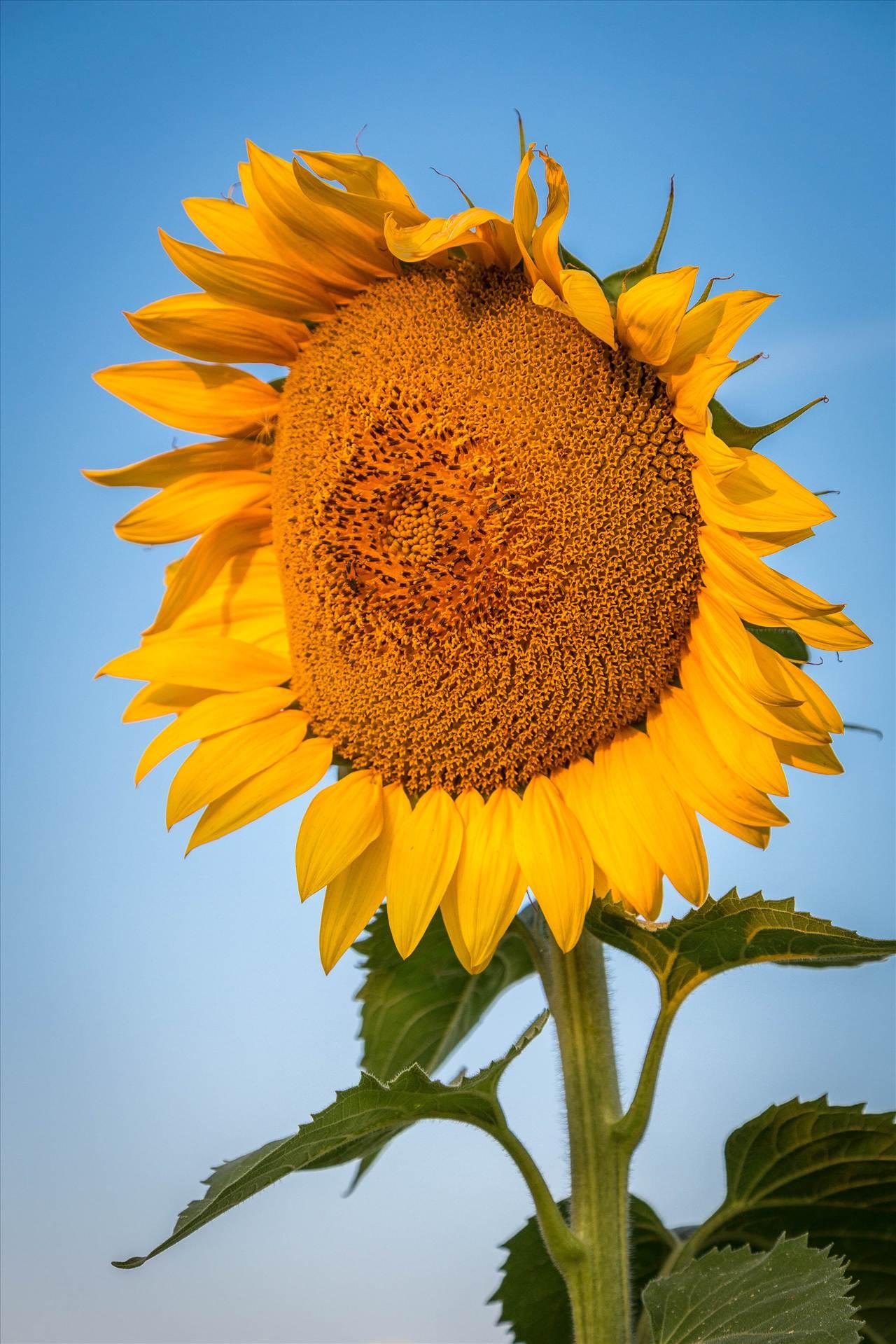 Sunflower Sunrise III - Sunflowers near Denver International Airport. by D Scott Smith