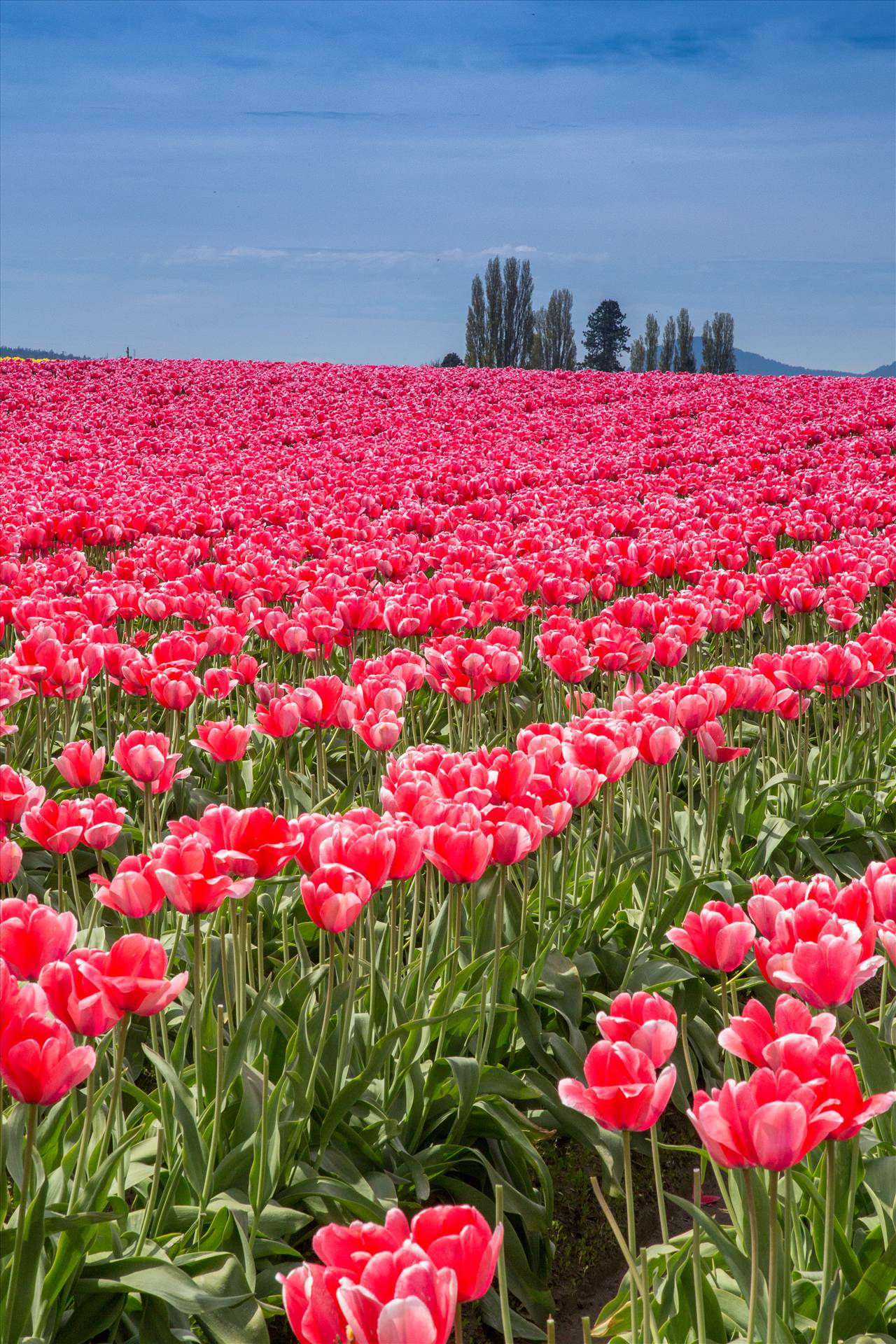 Tulips 3 - From the Skagit County Tulip Festival, 2012. by D Scott Smith
