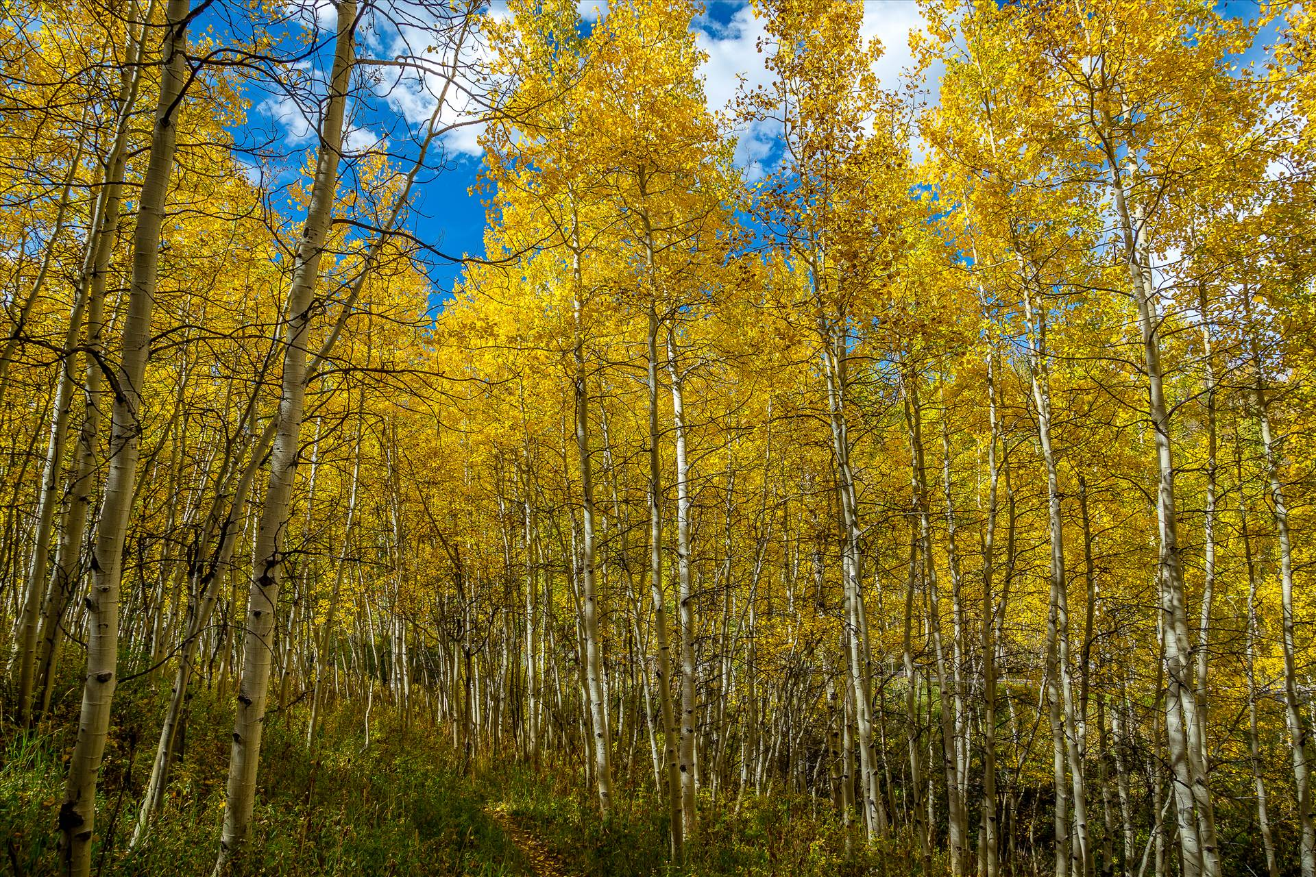 Snowmass Aspens on Rim Trail -  by D Scott Smith