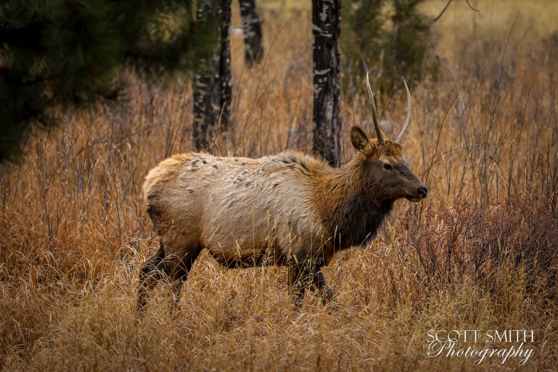 Sunday Elk No 04 - A heard of Elk near the entrance to Rocky Mountain National Park, Estes Park, Colorado. by D Scott Smith