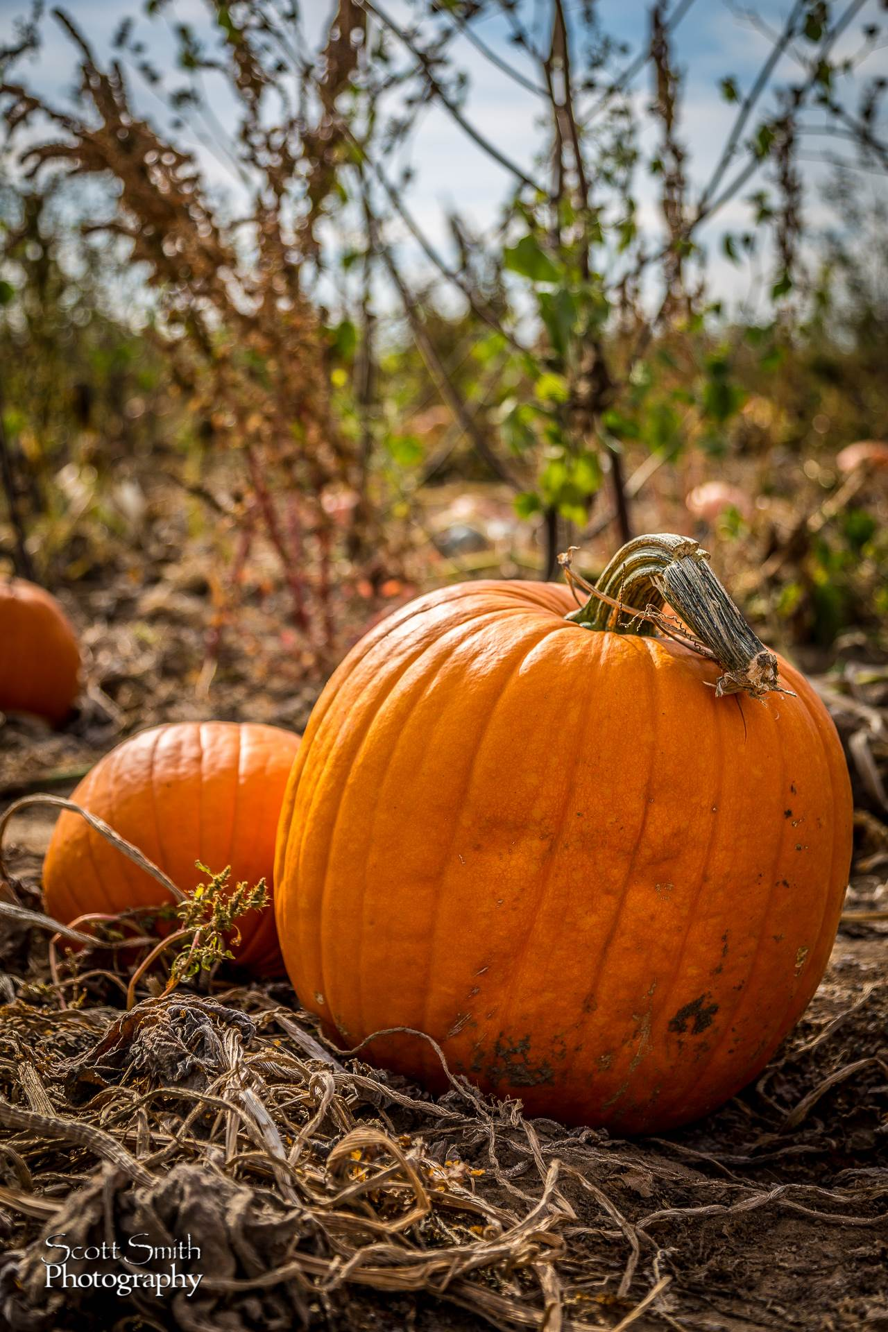 Pumpkins 2 - Anderson Farms, Erie Colorado. by D Scott Smith