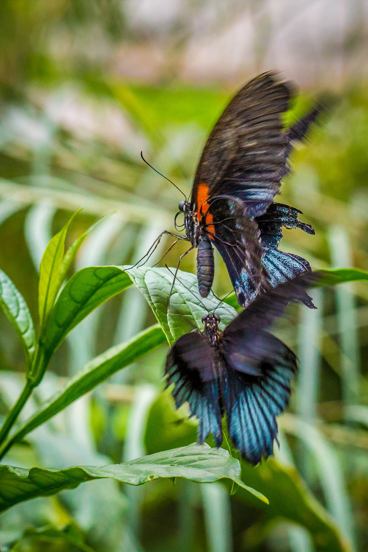 Attack! - It may not be a fight per se, but it appears that two butterflies are having it out in this action shot. by D Scott Smith