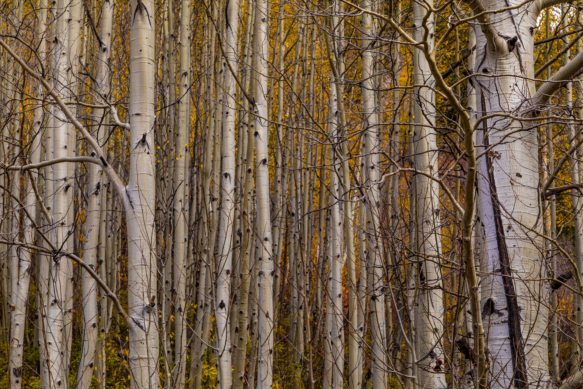 Simple Aspens - A dense grove of aspens near Marble, Colorado, in the fall. by D Scott Smith