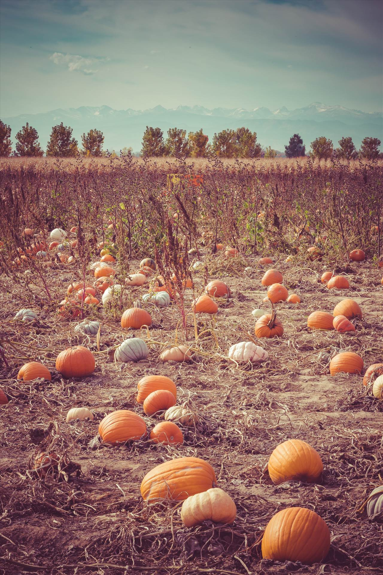 Pumpkin Patch - Anderson Farm's pumpkin patch. by D Scott Smith