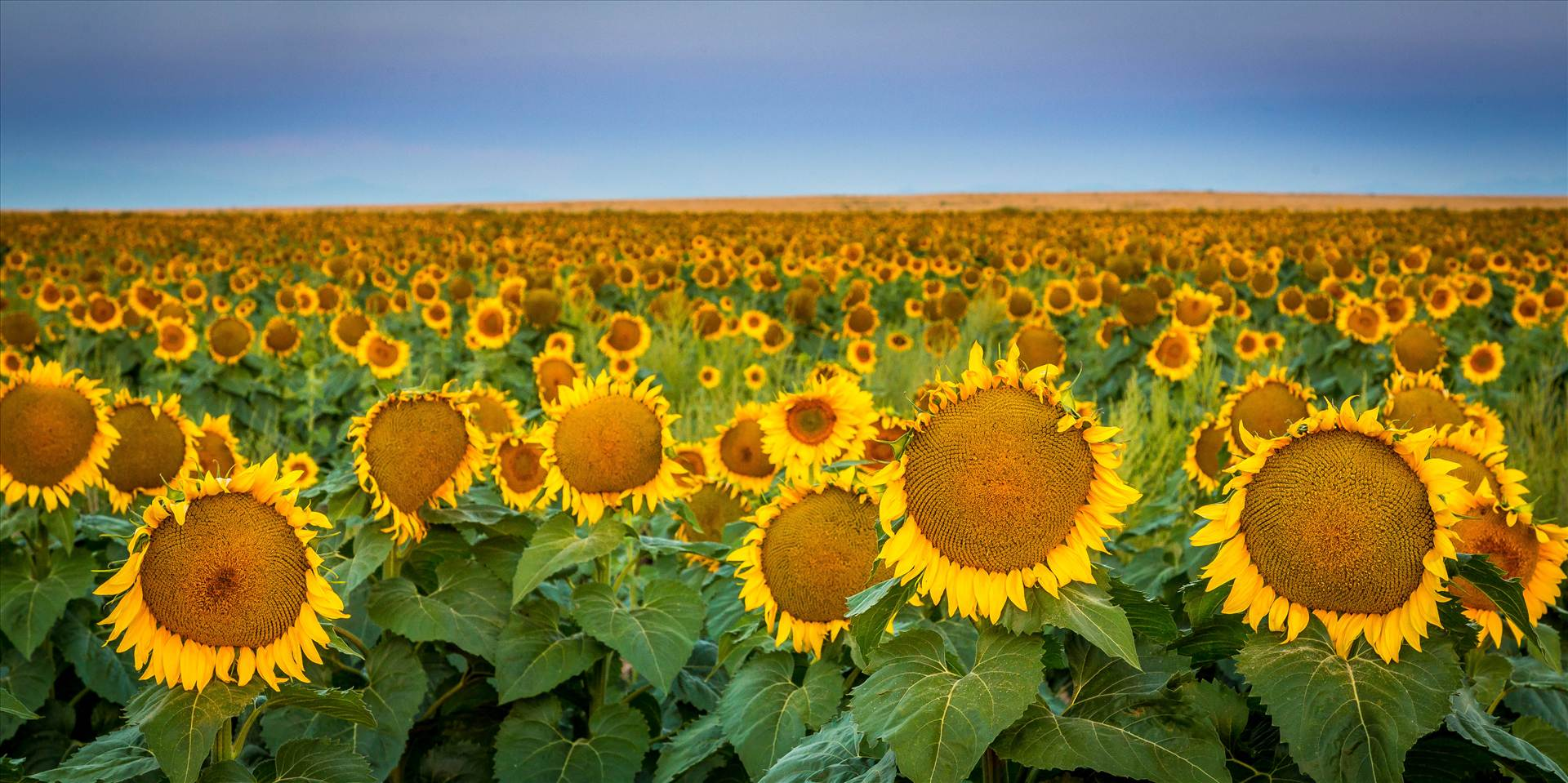 Sunflower Sunrise IV - Sunflower fields near Denver International Airport, Colorado. by D Scott Smith