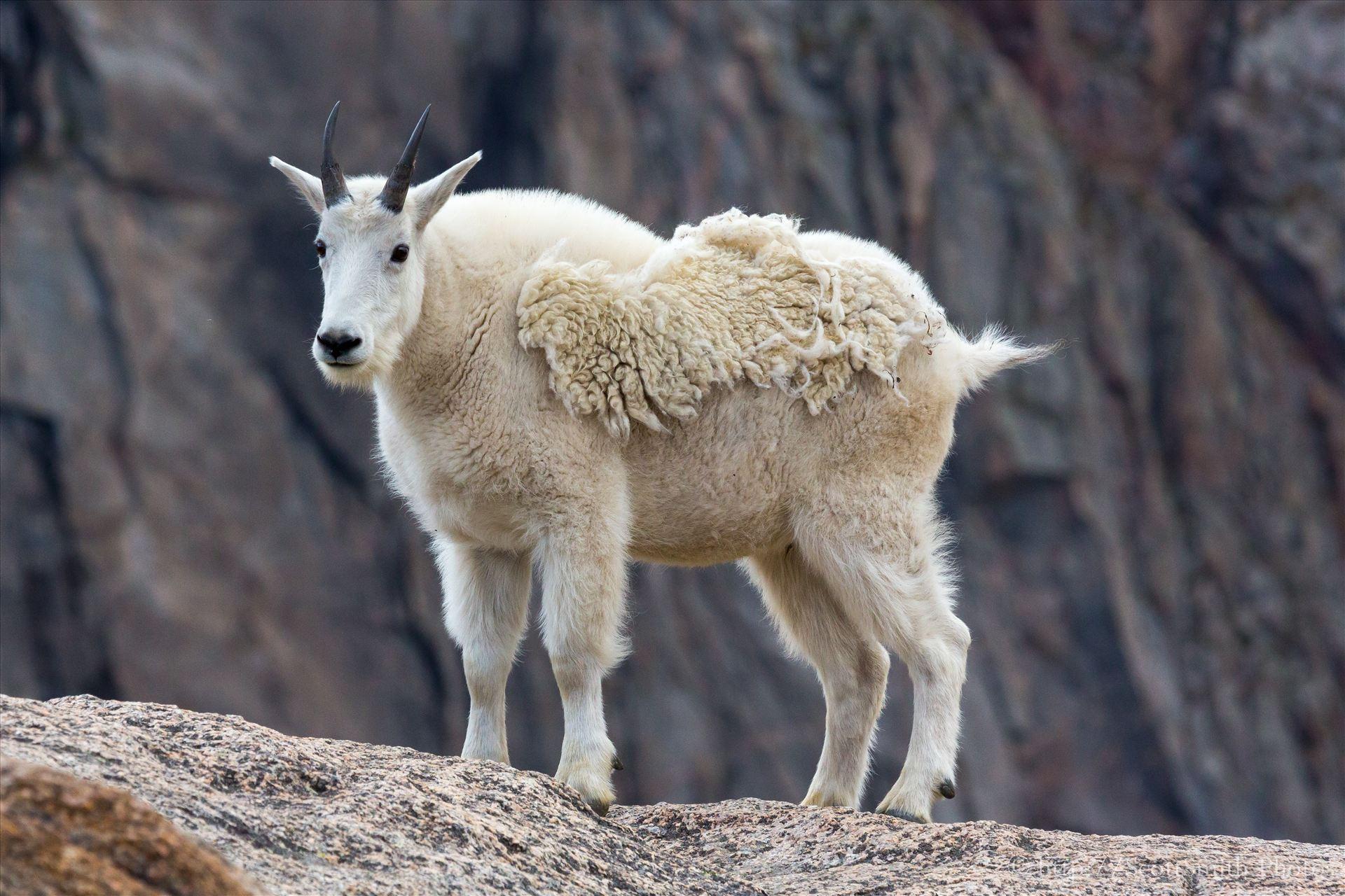 Mt Evans-Mountain Goat -  by D Scott Smith