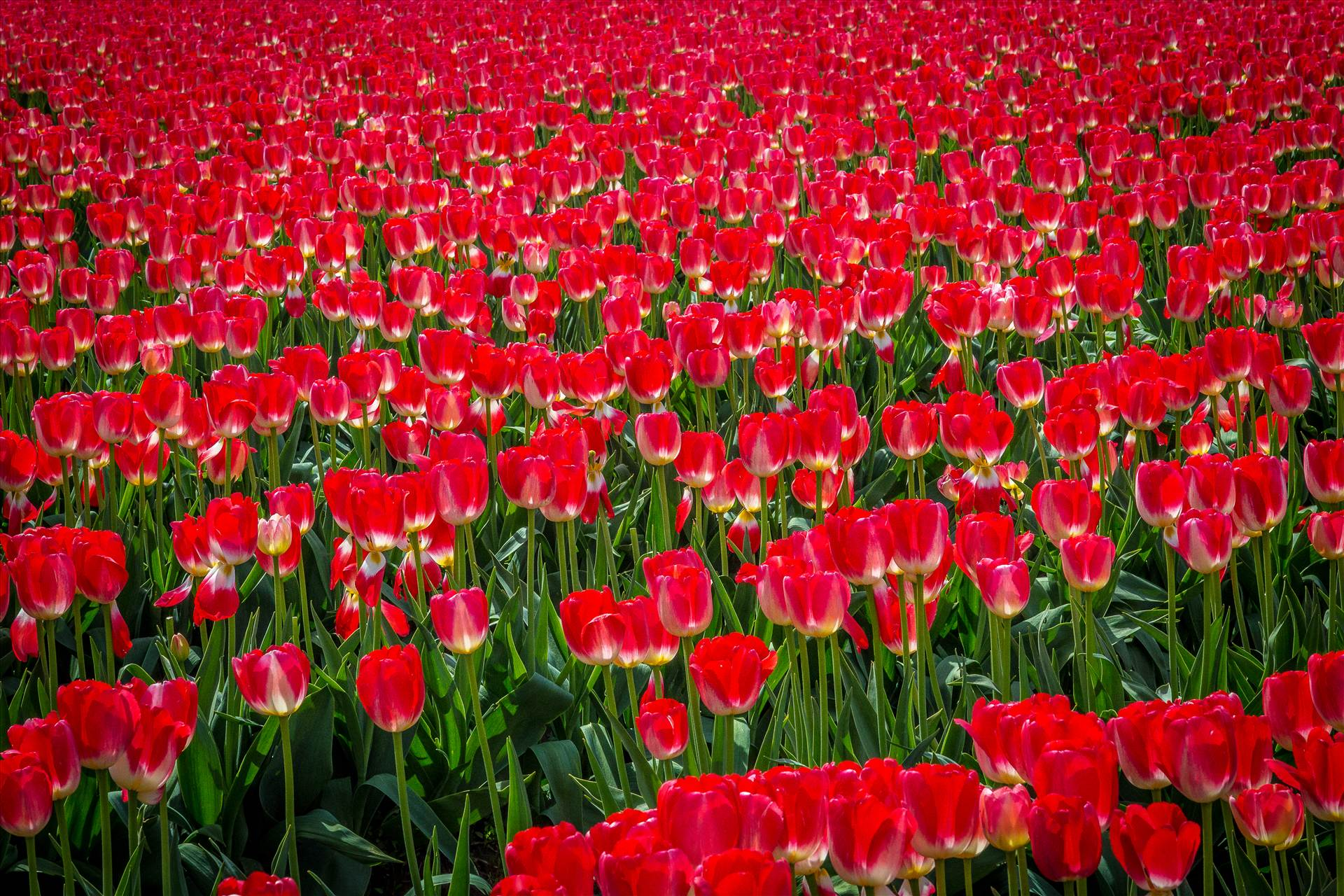Sea of Red Tulips - From the Skagit County Tulip Festival in Washington state. by D Scott Smith