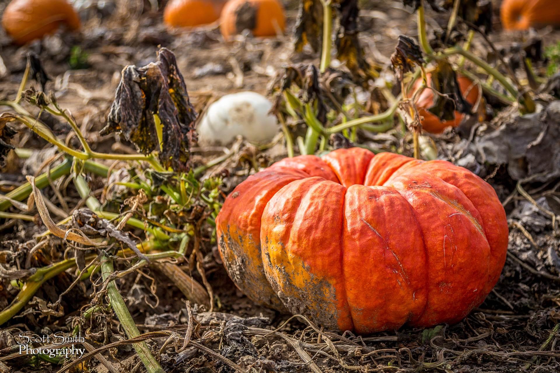 Pumpkins 4 - Anderson Farms, Erie Colorado. by D Scott Smith