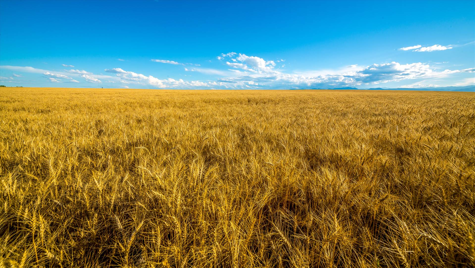 Summer Fields I - Wheat fields near Longmont, Colorado by D Scott Smith