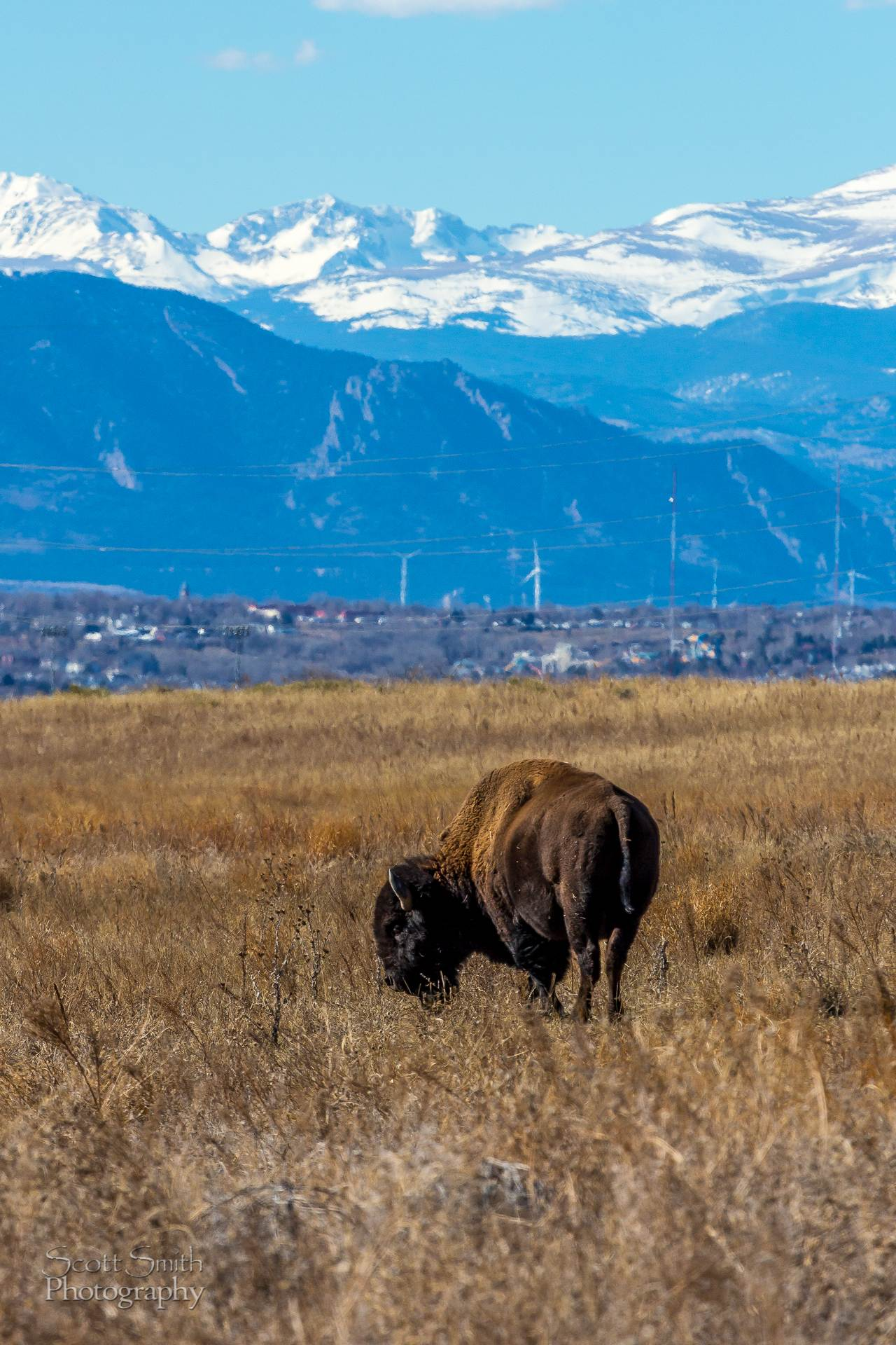 Bison 2 - The bison with Rocky Flats and the wind generators near Boulder Colorado in the distance. by D Scott Smith