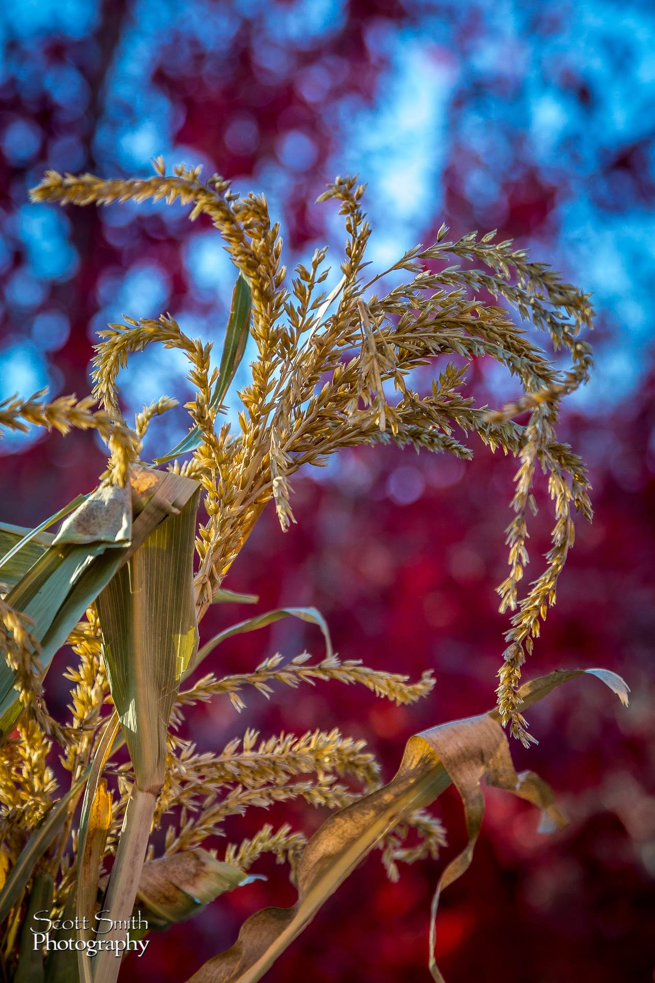 Fall Grasses - Tall grasses drying in the sun. by D Scott Smith